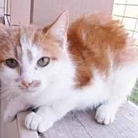 Domestic Mediumhair Cat for adoption in Prestonsburg, Kentucky - pumpkin