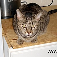 Adopt A Pet :: Ava - Naples, FL