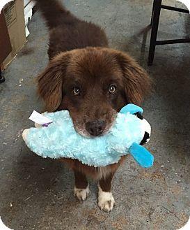 Border Collie/Chow Chow Mix Dog for adoption in Ocean Ridge, Florida - Bear