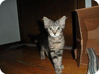 Domestic Shorthair Kitten for adoption in Milwaukee, Wisconsin - Jigglypuff