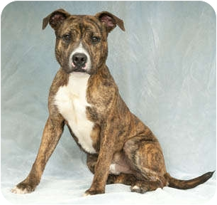 Pit Bull Terrier/Terrier (Unknown Type, Medium) Mix Dog for adoption in Chicago, Illinois - Highlight
