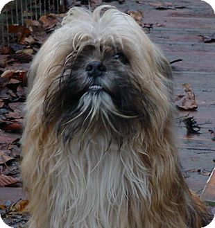 Pekingese Mix Dog for adoption in Metamora, Indiana - Dolly