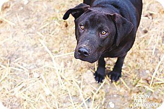 Labrador Retriever Dog for adoption in Carey, Ohio - Barry