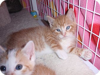 Domestic Shorthair Kitten for adoption in East Brunswick, New Jersey - Chubbs
