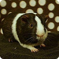 Adopt A Pet :: Pip - Brooklyn Park, MN