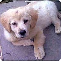 Adopt A Pet :: AMBROSIA - dewey, AZ