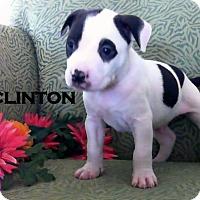 Adopt A Pet :: CLINTON - Higley, AZ