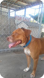 American Pit Bull Terrier Dog for adoption in Eddy, Texas - Andy