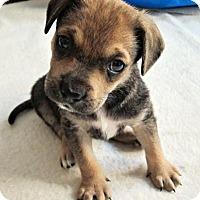 Adopt A Pet :: Hazel Grace - Minneapolis, MN