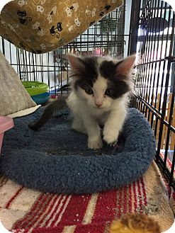 Domestic Mediumhair Kitten for adoption in Monrovia, California - Mini