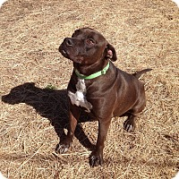 American Staffordshire Terrier/Labrador Retriever Mix Dog for adoption in Union City, Tennessee - KoKo