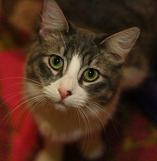 Domestic Mediumhair Cat for adoption in Canoga Park, California - Clarice
