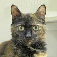 Domestic Shorthair Cat for adoption in Woodstock, Illinois - Huntley