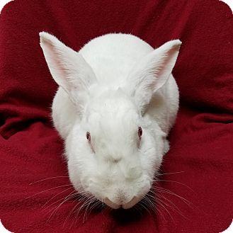 Florida White Mix for adoption in Wheaton, Illinois - Sienna