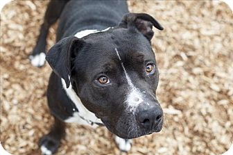 Pit Bull Terrier Mix Dog for adoption in Napa, California - Ollie