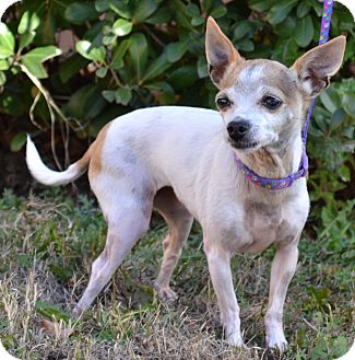 Chihuahua Mix Dog for adoption in Simi Valley, California - Baby Girl