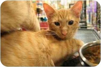 Domestic Shorthair Cat for adoption in Orlando, Florida - Neville
