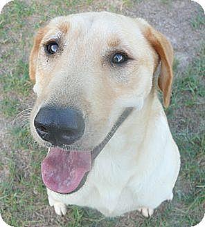 Labrador Retriever Mix Dog for adoption in Katy, Texas - Jude