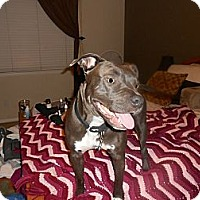 American Staffordshire Terrier/Labrador Retriever Mix Dog for adoption in Malibu, California - SKYLAR