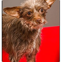 Adopt A Pet :: Rusty - Owensboro, KY