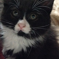Domestic Mediumhair Cat for adoption in Brooklyn, New York - Lil Boo