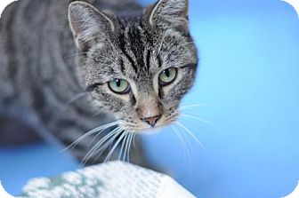 Domestic Shorthair Cat for adoption in Brooklyn, New York - Frances 'Baby' Mouseman
