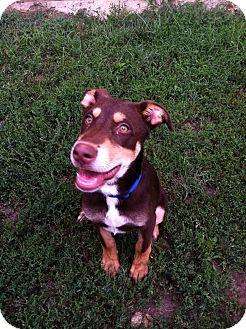 German Pinscher/Labrador Retriever Mix Puppy for adoption in Fort Riley, Kansas - Romeo
