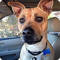 Adopt A Pet :: Scrappy-Doo - Gilbert, AZ