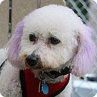 Adopt A Pet :: Dandelion - South Amboy, NJ