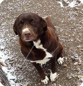 Labrador Retriever/Border Collie Mix Dog for adoption in Fort Benton, Montana - Layla
