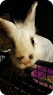 Lionhead Mix for adoption in Conshohocken, Pennsylvania - Gidget