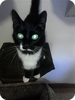 Domestic Shorthair Cat for adoption in Medford, New York - Alfie