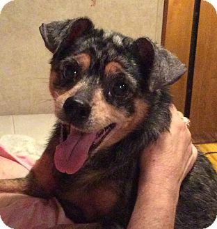 Australian Shepherd/Miniature Pinscher Mix Dog for adoption in Oakland, Florida - Delilah