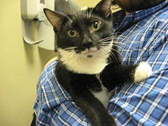 Domestic Shorthair Cat for adoption in Logan, Utah - Kenny