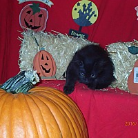 Domestic Longhair Kitten for adoption in Lancaster, California - Buckwheat