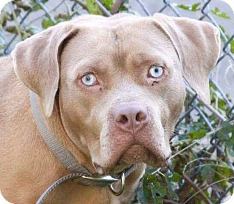 Dogue de Bordeaux Dog for adoption in Morris, Illinois - STORM