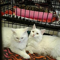 Adopt A Pet :: Petunia and Tulip - Orlando, FL