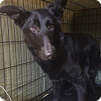 German Shepherd Dog Puppy for adoption in Mt. Airy, Maryland - Mica