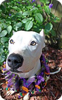 Dogo Argentino/American Pit Bull Terrier Mix Dog for adoption in Orlando, Florida - Eden