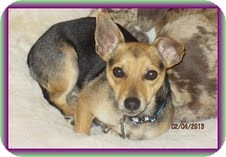 Chihuahua Mix Dog for adoption in Windham, New Hampshire - Prince Jack (In New England)