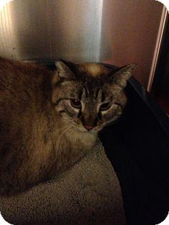 Siamese Cat for adoption in Ogden, Utah - Beans