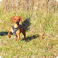 Adopt A Pet :: *Violet - PENDING - Westport, CT