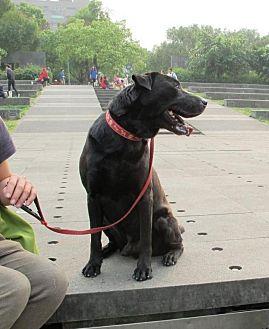Labrador Retriever Mix Dog for adoption in menlo park, California - Gregory