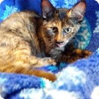 Adopt A Pet :: Tortie Kittens - 3 - Delmont, PA
