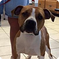 American Pit Bull Terrier Dog for adoption in Burnham, Pennsylvania - Amy
