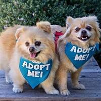 Pekingese/Pomeranian Mix Dog for adoption in Pacific Grove, California - Goliath