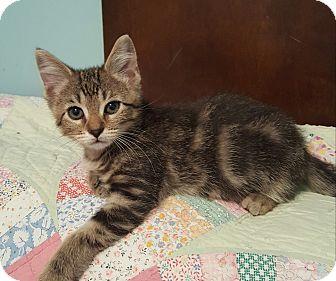 Domestic Shorthair Kitten for adoption in Highland, Indiana - Gunner