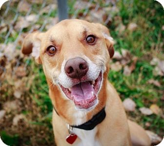 Hound (Unknown Type)/Labrador Retriever Mix Dog for adoption in Owatonna, Minnesota - Rocky