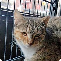 Domestic Shorthair Cat for adoption in Queens, New York - Sabita