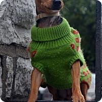 Adopt A Pet :: Tink-Adoption pending - Bridgeton, MO